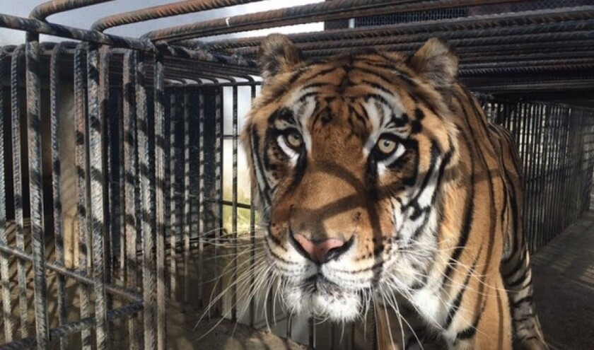 Phevos, a tiger airlifted out of Greece to a sanctuary east of San Diego, has been euthanized after weeks of declining health.
