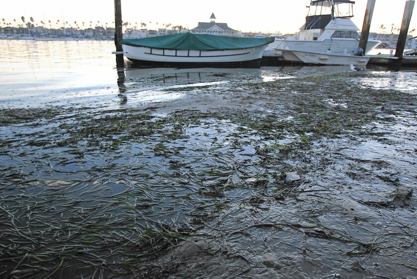 Eelgrass grows in the water off Balboa Island in Newport Beach. The city received a permit from the Army Corps of Engineers and the California Coastal Commission for a program intended to simplify the process for dredging sediment by removing some of the costly red tape associated with protecting eelgrass.