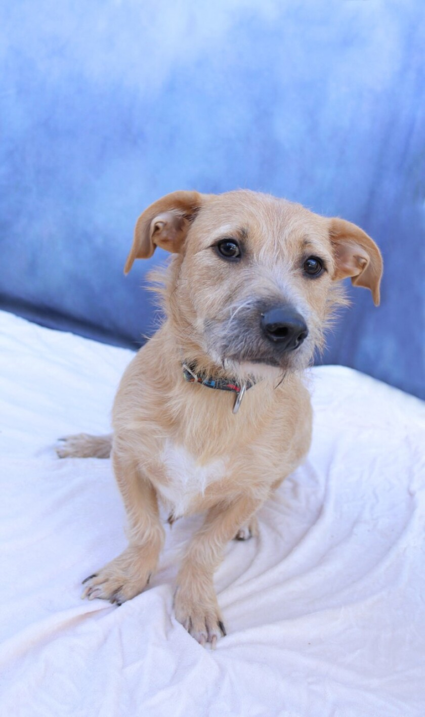 Pet of the week is Chimi, a male bassett hound/terrier mix.