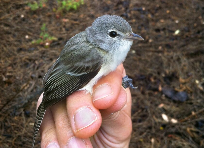 Close view of a Least Bell's Vireo captured on a person's hand.