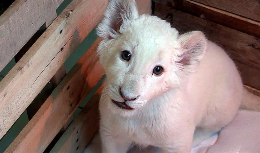 Fotograma extraído de un vídeo cedido hoy, viernes 26 de enero de 2018, por el Gobierno de Tlaxcala, que muestra un cachorro de león blanco nacido en cautiverio en el Zoológico del Altiplano en Tlaxcala (México). EFE/Gobierno de Tlaxcala/SOLO USO EDITORIAL/MEJOR CALIDAD DISPONIBLE