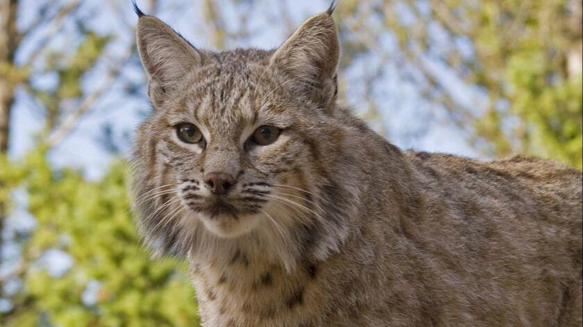 File photo of an adult bobcat.