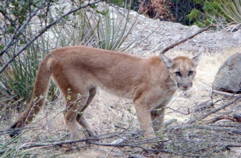 The male mountain lion known as P-61 made his way east of the 405 freeway in mid-July.