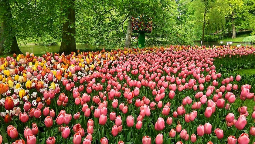 Bicycle to the tulips at Keukenhof Gardens in the Netherlands on Tripsite's bike and barge Tulip Tour in April.