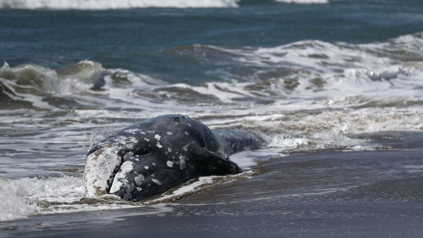 A dead gray whale at Point Reyes National Seashore on May 23.