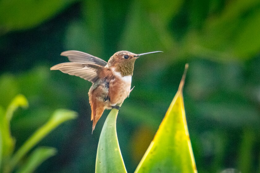 An Allen's hummingbird making his morning visit.