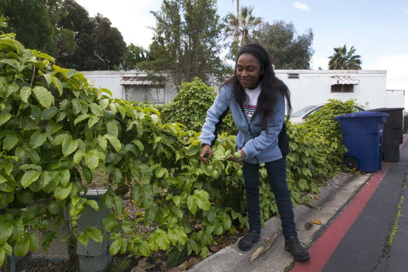 SAN DIEGO CA.-Jan 22, 2016: Sharon Farmer, who has lived in the park for six-years, will be sad to leave. She showed off a passion fruit vine that she planted a couple of years ago that has flourished.JOHN GIBBINS / San Diego Union-Tribune)