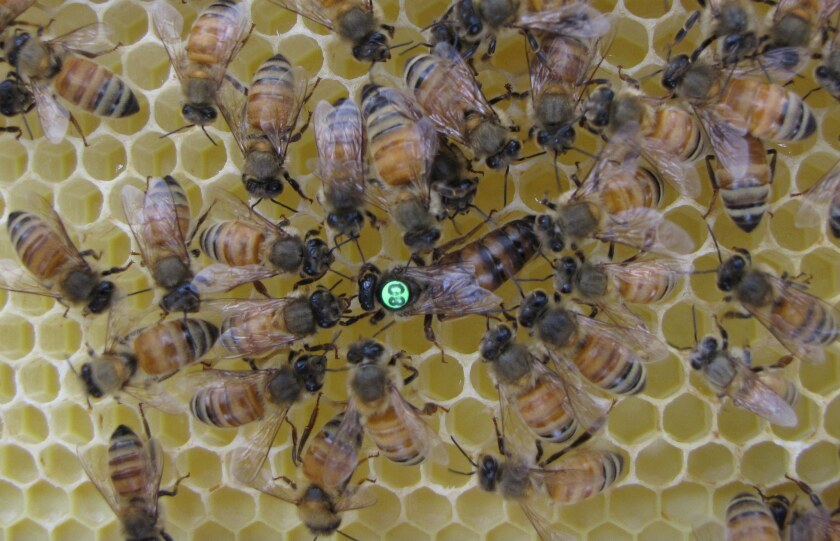 Queen bees excrete a pheromone that lets everyone know she has mated and how well it turned out.