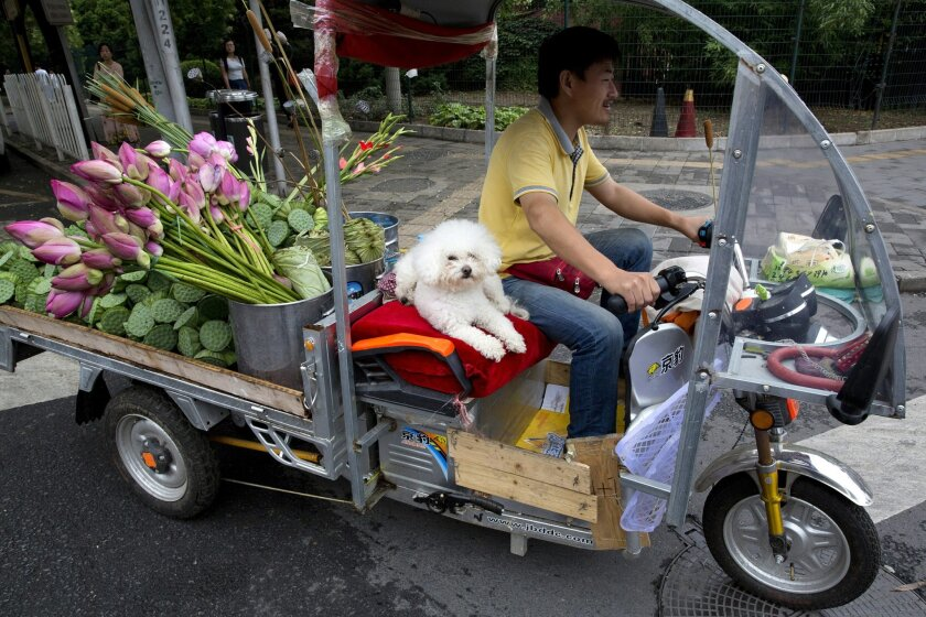 A man delivers lotus flowers with his dog for company on the streets of Beijing, China, Friday, July 15, 2016. China's economic growth held steady in the most recent quarter, according to official data released Friday, indicating policies meant to counter the slowdown in the world's second biggest