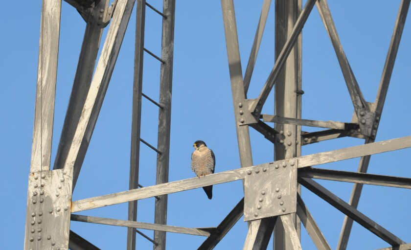 A peregrine falcon perches on a tower near the Duwamish River in Seattle.