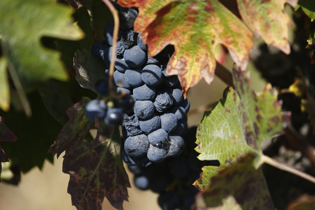 Wine grapes in the Russian River Valley of Sonoma County. Some winemakers fear that much of the wine in the process of being fermented and aged is ruined by the Kincade fire.