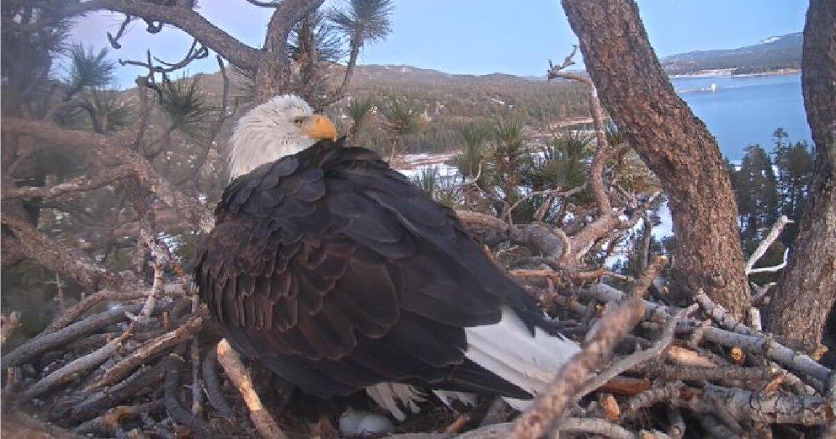 Weißkopfseeadler mama legt zweite ei in San Bernardino nest