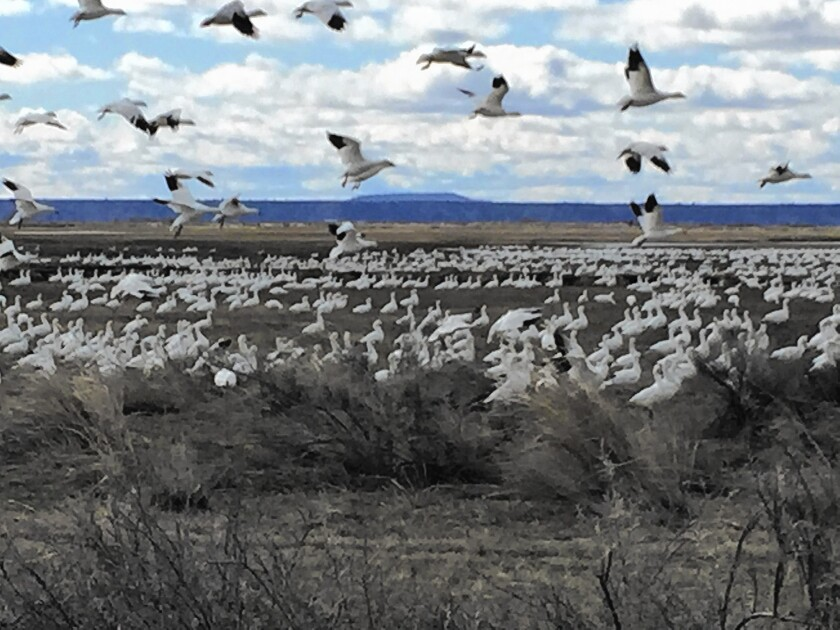 A very welcome spring has arrived at the Malheur National Wildlife Refuge, and with it birds and birders. Above, geese make a landing north of the refuge.