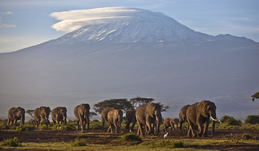 A herd of elephants at Amboseli National Park in southern Kenya, with Tanzania's Mt. Kilimanjaro in the background.