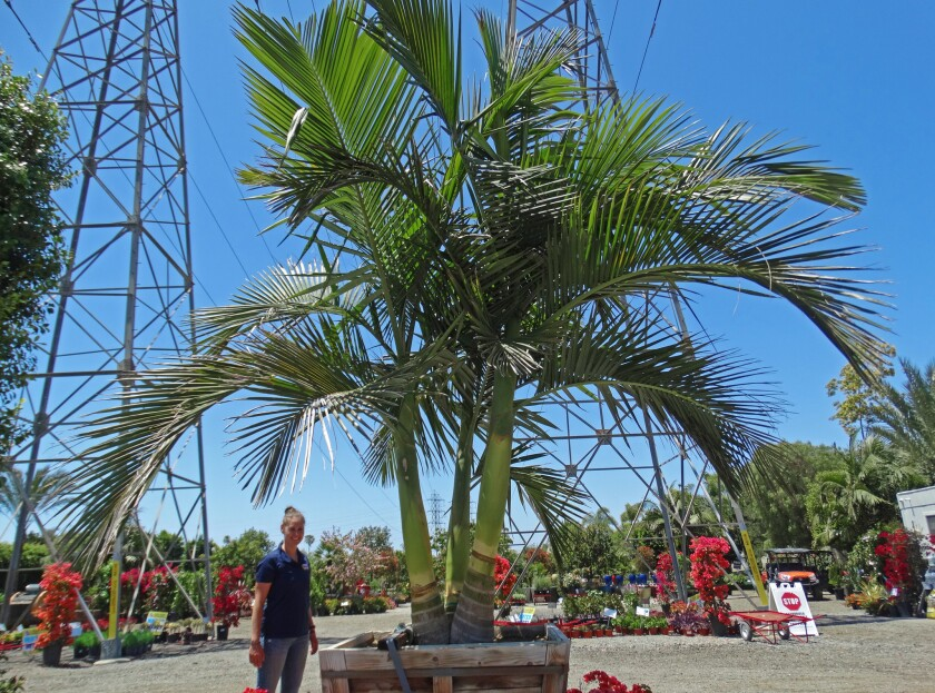 King palm specimen