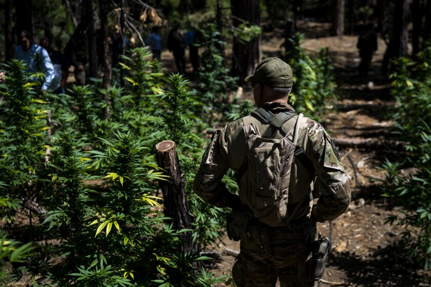 Illegal marijuana cultivation site in the Sierra