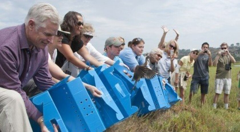 Light-footed clapper rails are released at San Elijo Lagoon.