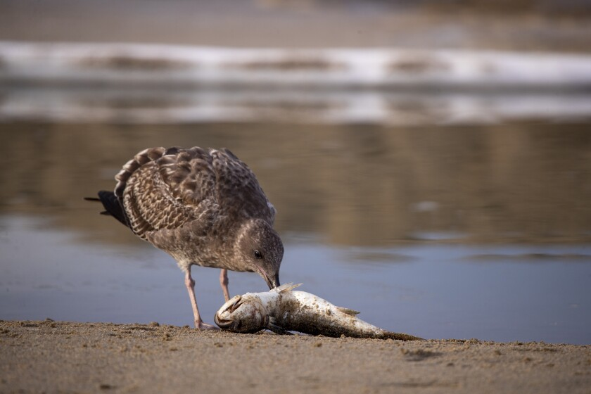 A bird feeds on a dead fish