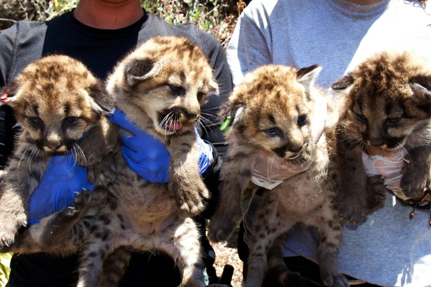 In August, National Park Service researchers discovered a litter of four mountain lion kittens (two male, two female) in a remote area of the Santa Monica Mountains. The mother is P-19.