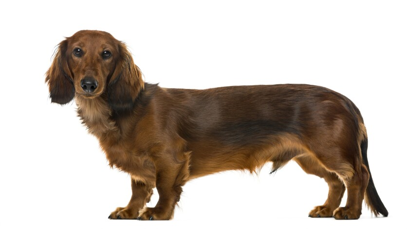 Lady, a 17-year-old dachshund, similar to this one, was reunited with her Connecticut family five years after going missing.