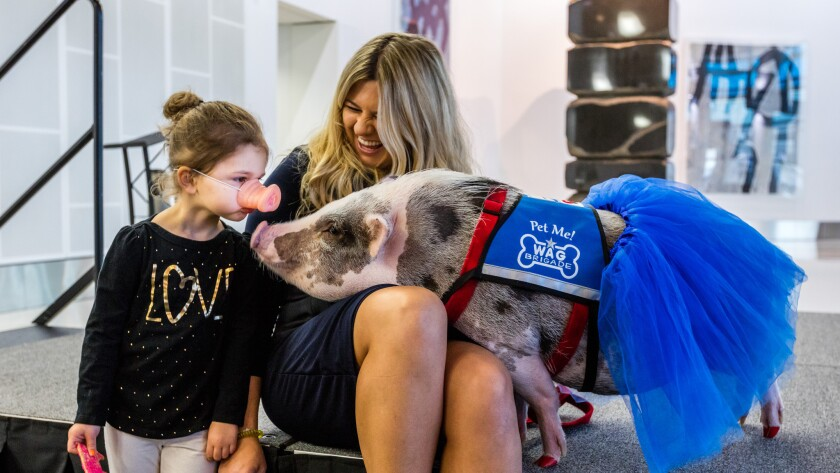 LiLou the pig is cheering up passengers at San Francisco's airport.