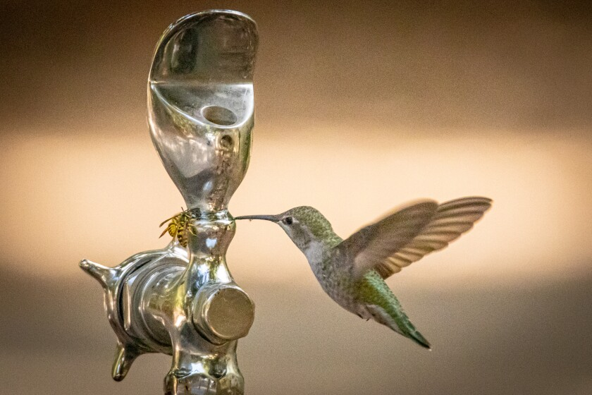 A hummingbird and yellow jackets drink from water trickling out of a leaking water faucet.