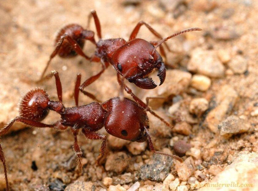 Harvester ants / photo by Alex Wild * myrmecos.net