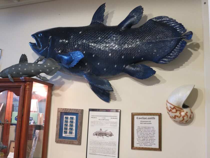 Behold a replica of the coelacanth, a prehistoric blue fish thought to have been extinct for 65 million years but which was found alive and well in 1938 off the coast of South Africa.
