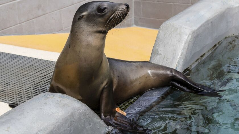 California sea lion Yakshack recuperates at the Marine Mammal Center, a rescue center in Sausalito, Calif. The center says California sea lions are coming down with a potentially fatal bacterial infection in near-record numbers.