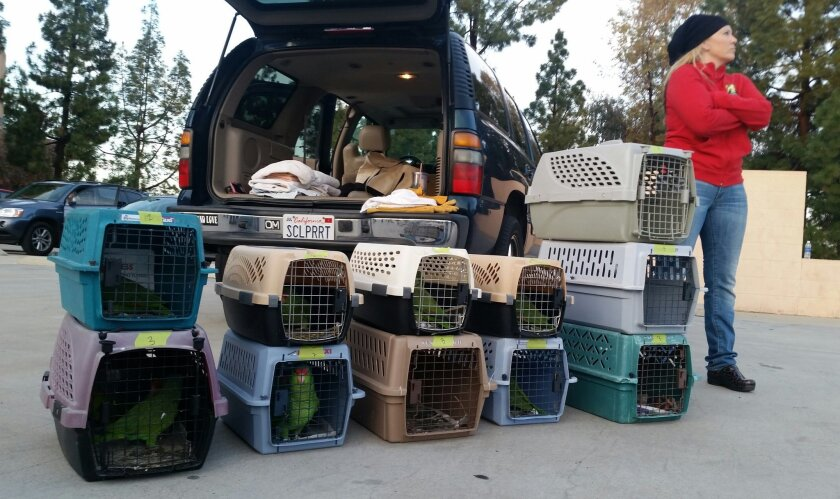 Brooke Durham, founder and director of SoCal Parrot, a wild parrot rescue group based in Jamul, waits for just the right time on Sunday to have volunteers release more than two dozen healthy birds into the skies above the El Cajon Courthouse.