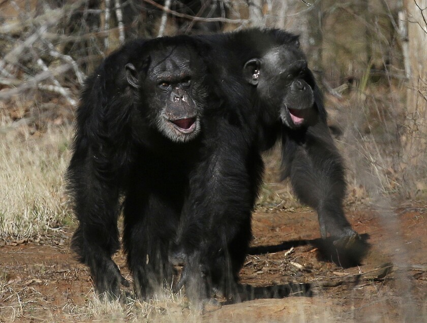 NIH says it will retire all remaining research chimpanzees