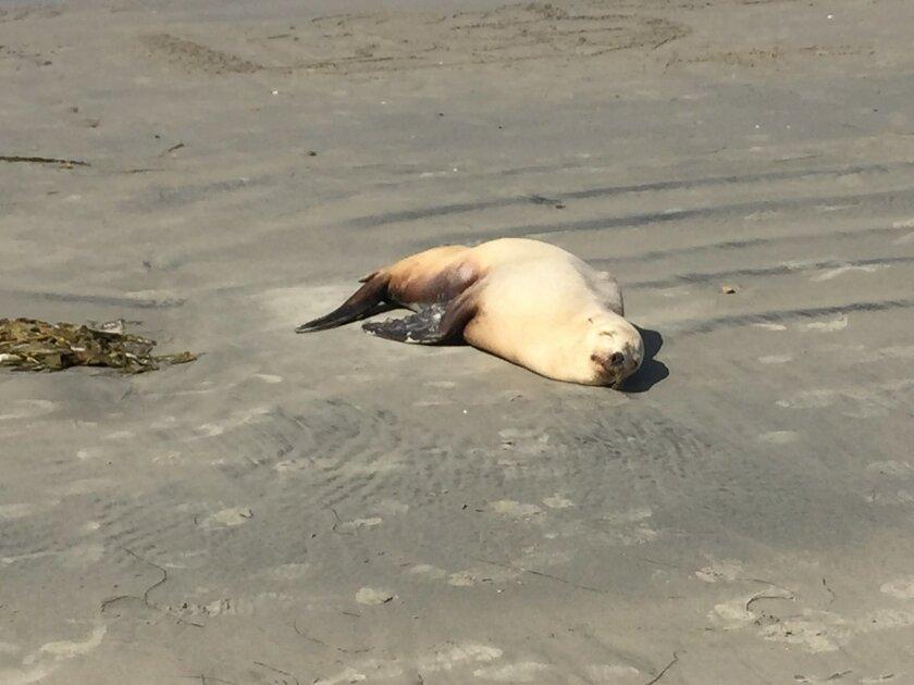Sick sea lion on the beach April 8.