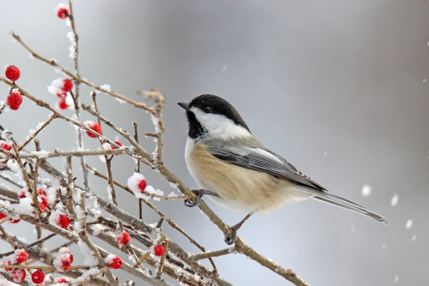 """Birds in Gilbert, Minn., have been flying """"under the influence"""" after eating fermented berries caused by premature frost."""