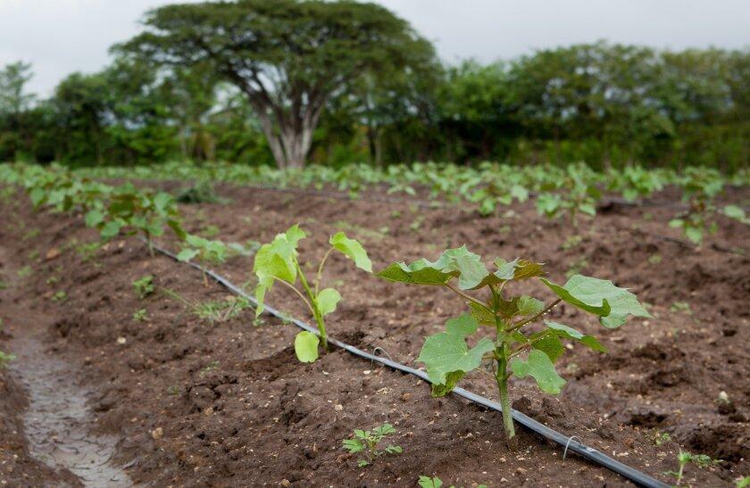 Hybrid jatropha grown in Guatemala for SGB.