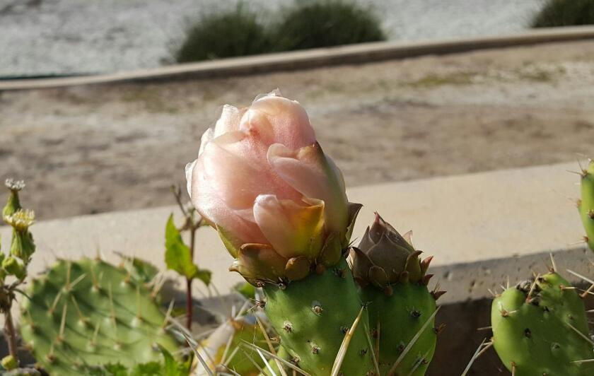 A pale pink flower will transform into a bright red fruit.
