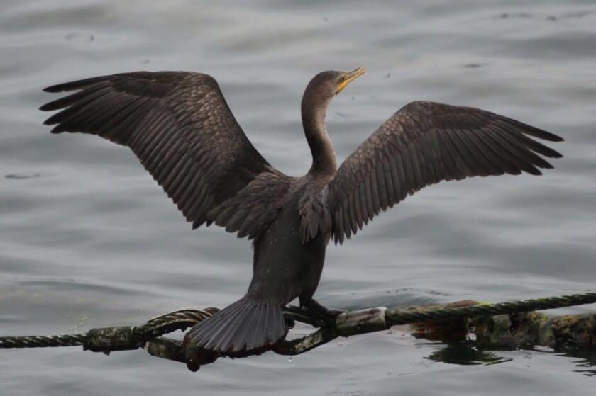 A juvenile Brandt's cormorant sits with wings spread to dry.