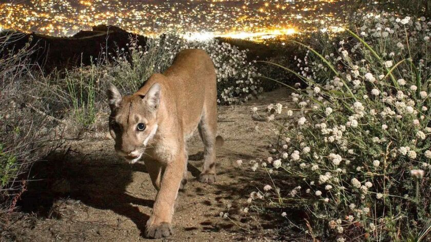 "Uncollared female mountain lion ""Nikita"" in the Verdugo Mountains above Glendale on July 5, 2018. A"