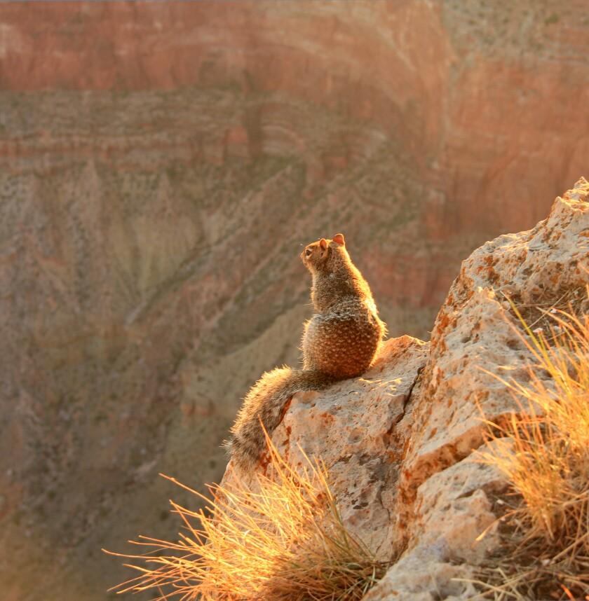 Rock Squirrel (Otospermophilus variegatus) warming up under early morning sunlight
