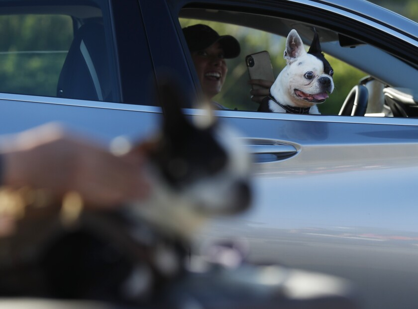 A black-and-white dog looks out a lowered car window.