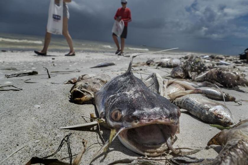 Fotografía de archivo de peces muertos en la playa Gulfside City Park, en Sanibel, costa oeste de la Florida (EE.UU.). EFE/Archivo