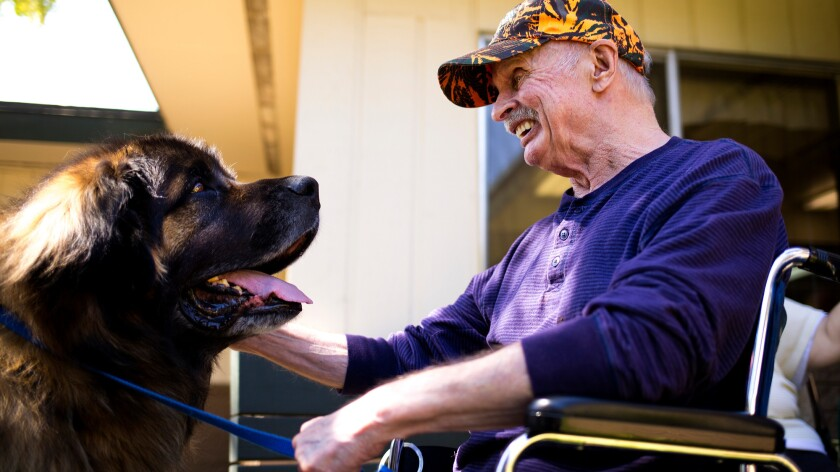 "Leonard Hanson laughs as he visits with Calibur, a 9-year-old Leonberger therapy dog, at Coeur d'Alene Health Care and Rehabilitation Center in Coeur d'Alene, Idaho. Airlines want to limit the type of ""emotional support animals"" allowed on planes."