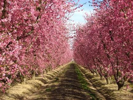 Fresno County's Blossom Trail