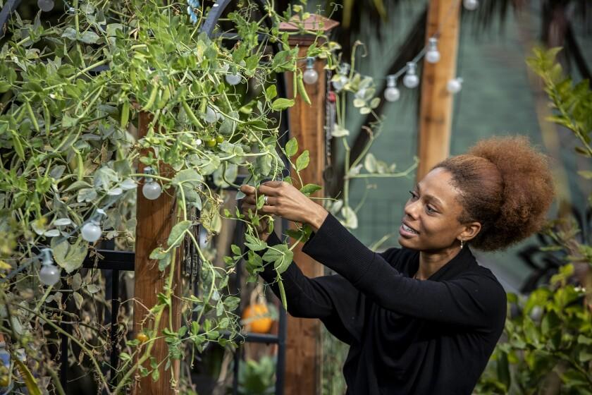 Yhanni James recoge guisantes dulces de una enredadera en el jardín Arts and Roots en Inglewood.