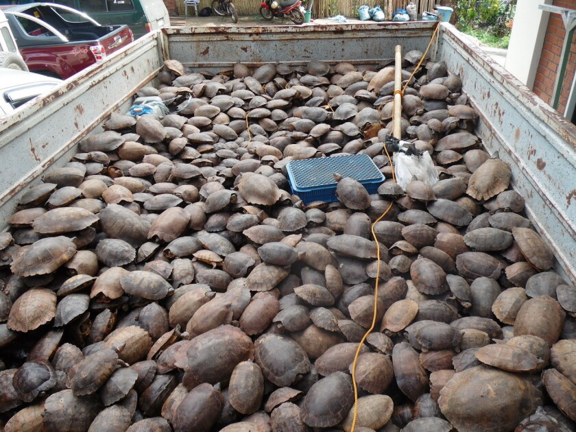 More than 4,000 critically endangered Philippine forest turtles were confiscated. The reptiles were believed headed for the black market in Hong Kong.