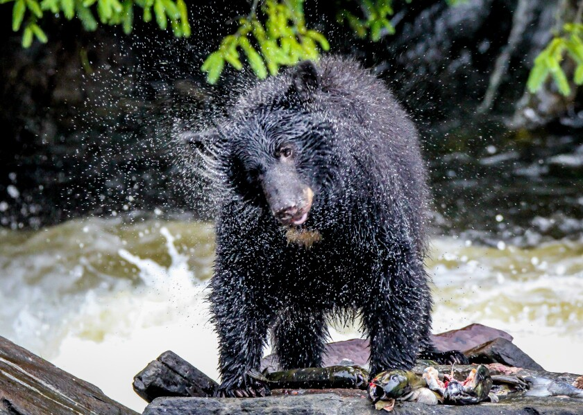 The Black Bear Shake