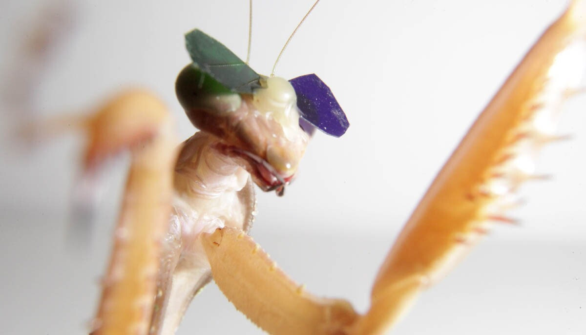 Scientists at Newcastle University put 3-D glasses on praying mantises to see if insects had stereopsis, the ability to visually perceive depth.