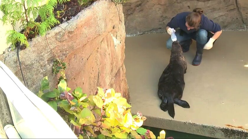 In this undated frame from video provided by KING-TV, trainer, Sara Perry, uses food to teach the otter named Mishka to push her nose on an inhaler and take a deep breath at the Seattle Aquarium in Seattle. KING-TV reports Dr. Lesanna Lahner diagnosed the otter with asthma after she was having trouble breathing when smoke from wildfires was in the Seattle area. (KING-TV via AP)