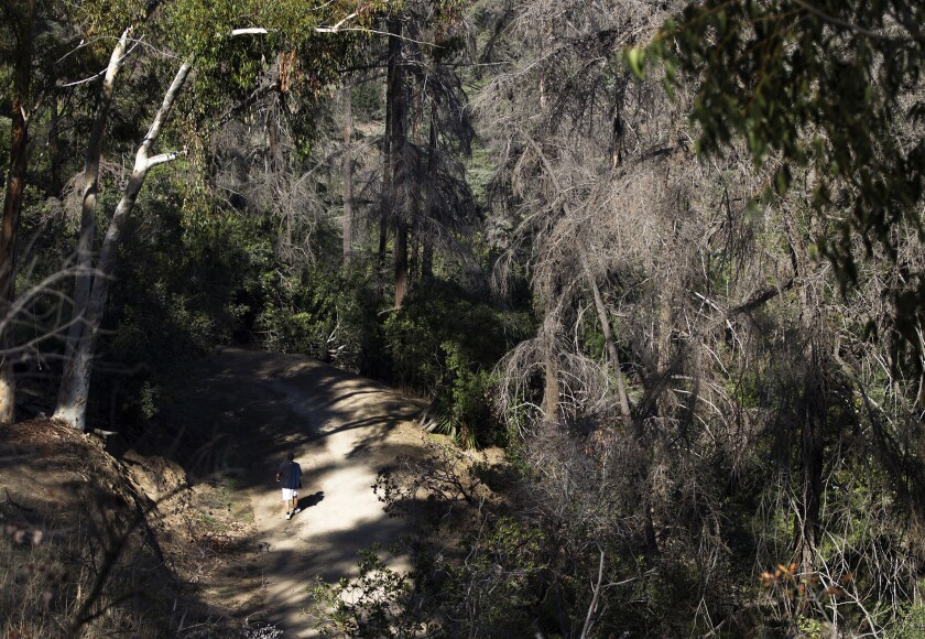 Recovery plan lies dormant as Elysian Park's exotic trees die off
