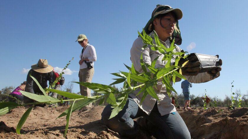 A woman plants a willow tree in the Laguna Grande restoration area in the Colorado River delta in March 2014.