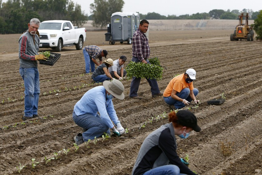 Volunteers plant cabbage seedlings on 45 acres at the Harvest Solutions Farm in Irvine.